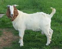 *~Goat Maa Talker~*