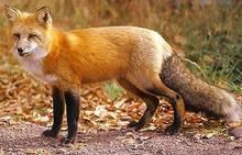 Red Fox Squall Typer