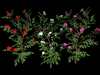 Camellia Bushes - Pack - Mesh - Full Perm