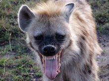 Hyena Talk Typer