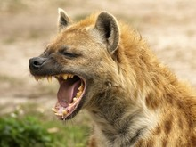 Hyena Laugh Talk Typer