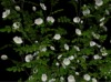 Climbing roses white pic 1
