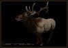Clear Creek Elk