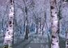 Whitebirchtreeforest winter2