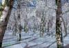 Whitebirchtreeforest winter3