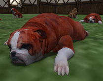 Female Red color coated BullDog