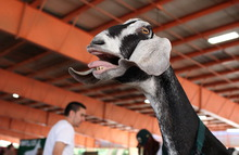 Gesture: Screams like a chicken-fried goat!!