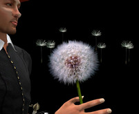 Hold a Dandelion Blowball with Flying Seeds!