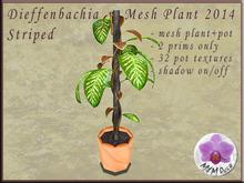 Dieffenbachia Striped