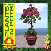 Bougainvillea Plant in a Pot