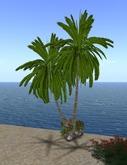 palmier double +rock +plante