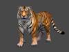 Tiger looking 3