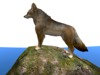 Coyote on  a rock main