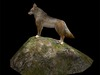 Coyote on a rock 2nd