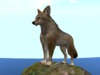 Coyote on a rock 3rd