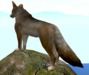 Coyote on a rock 4th