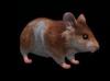 Hamster main pic
