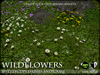 FLOWERS - Daisies and Buttercups - WILD FLOWERS