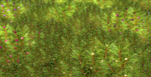 *Shabby* Evergreen Hedges