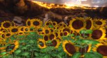 *Shabby* Golden Sunflower Fields