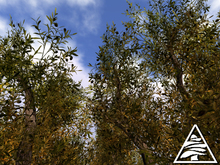 Ancient Olive tree M/T
