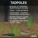 Tadpoles (of frogs and toads) .:SHD:.