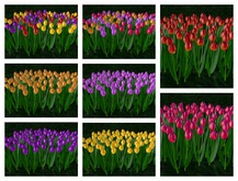 {ACD} Tulip Cluster 90 tulips