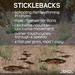 Three-Spined Sticklebacks (Gasterosteus aculeatus) .:SHD:.