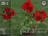Potted red Geranium MC