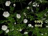 Climbing Rose Pack - White - Copy Mod