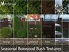Boxwoodbushp2