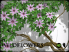 FLOWERS - Wild Flowers - Ancient Climbing Clematis