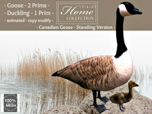Geese, Goose, Canadian, standing
