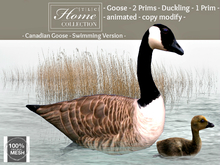 Geese, Goose, Canadian, swimming