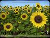 FLOWERS - Wild Flowers - SUNFLOWERS