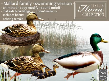 Duck, Mallard, Swimming