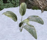 Broadleaf Weed - Winter