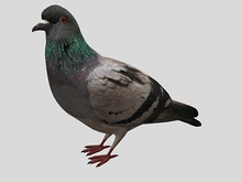 Pigeon Animated - Mesh - Full Perm