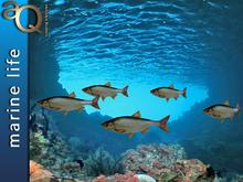 aQ Sea Bass - realistic swimming fish