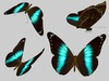Morpho Helenor Butterfly Animated - Mesh - Full Perm