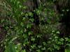 Climbing ivy 3 pic