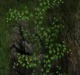Climbing ivy 4 pic