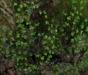 Climbing ivy 2 pic