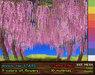 Wisteria Stars - Mesh Tree 4 LI, C+M, 9 Colors, Smooth Wind Effect