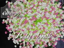 p-a-b baby's breath pink