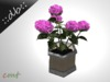::db:: Potted Plant Hortensia rose