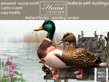 Duck, Mallard, Standing