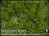 PLANTS - Western Sword Fern