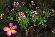 Frangipani Obtusa - Pink - FP