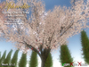 Aphrodite Spring Cherry tree- Baby Pink color